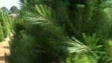 Festive Tree Farming