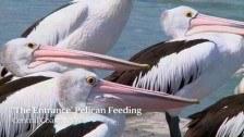 'The Entrance' Pelican Feeding