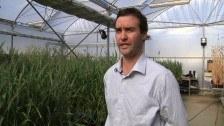 Wheat Research at CSIRO
